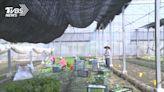 有機蔬菜箱熱銷 菜農感謝雪中送炭