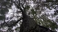 Chilean tree could be key to next COVID vaccine
