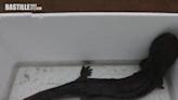 山東污水廠現娃娃魚 疑為有人放生 | 兩岸