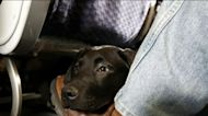 DOT rules dogs are only service animals allowed on passenger planes