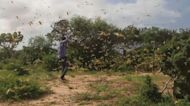 Somalia faces new desert locust invasion