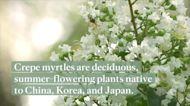 How to Grow Crepe Myrtle, a Splashy Magenta Tree