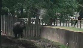 Rhino Races Alongside Kids as New York's Buffalo Zoo Reopens
