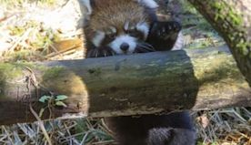 SEE: Red Panda Cubs Make Prospect Park Zoo Debut