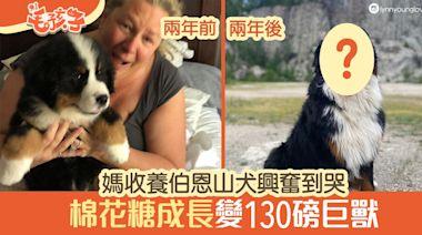伯恩山犬 媽收養伯恩山犬感動到哭 兩年後棉花糖變130磅巨獸