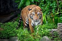 Where Do Tigers Live? - WorldAtlas