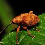 Weevil by Flickr user GR1CreativeMedia