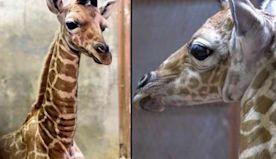 New Zoo Births Include Giraffe in Tennessee, Orangutan in Prague and Panda in DC