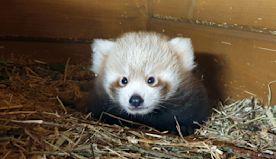 Red panda born in Berlin as part of global breeding programme
