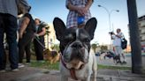 Lady Gaga's French Bulldogs Were Stolen And It's Not Uncommon Among The Breed