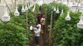 Ecuador's Flower Industry Shifts Toward Hemp as Rose Sales Wither | World News | US News
