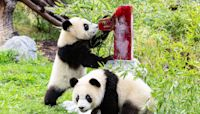 Zoo Berlin's Twin Pandas Pit and Paule Turn 1: They 'Have Grown Very Dear to Us'