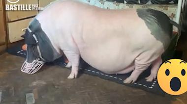 女子貪得意買「迷你寵物豬」 養3年竟成150kg「大肥豬」 | Plastic