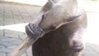 Anteater Shows Off Incredibly Long Tongue at the Cincinnati Zoo