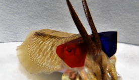 Researchers put 3D glasses on cuttlefish for...science