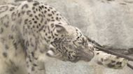 Snow Leopard at the San Diego Zoo Suspected Positive for COVID-19