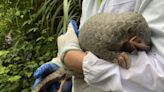 保護穿山甲不遺餘力 39歲越南保育人士獲頒「綠色諾貝爾」高曼環境獎