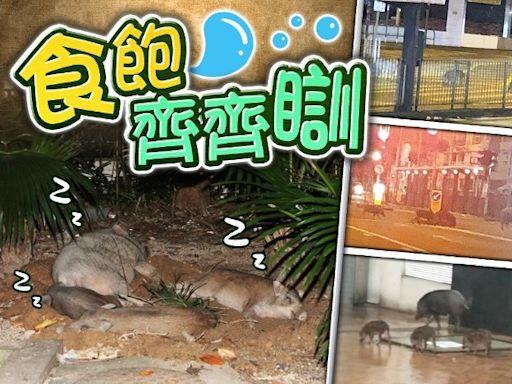 野豬家族鰂魚涌深宵覓食 飽餐後做爛瞓豬