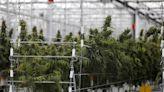 【大麻合法化】盧森堡成為歐洲第一國 開放大麻種植和消費--上報