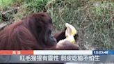 壽山動物們吃柚子 嗅尋剝皮發揮潛能