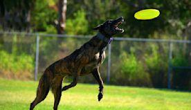 Treeing Tennessee Brindle Make Wonderful Hunting Dogs