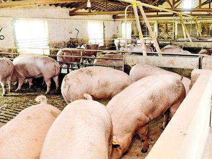 內地生豬期貨挫7%創新低 養殖業恐見紅 畜牧協會籲勿慌
