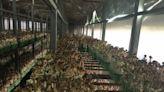 水簾溫室栽培菇類技術 農試所輔導菇類業者試行栽種成功
