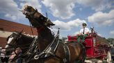 Budweiser Clydesdales marching in two Muskegon County veterans parades