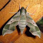 Moth by Flickr user Mark Turnauckas