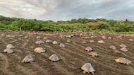 Hundreds of Sea Turtles Cross Costa Rican Beach for Mass Nesting