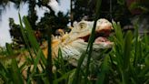 Florida now requiring microchips in iguanas and tegus in new 'tag days'