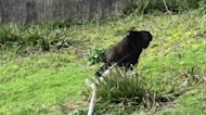 """Gorilla youngster shows off his new favorite """"toy"""""""