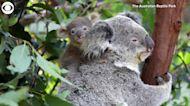 WEB EXTRA: 9 New Koalas At Australian Reptile Park