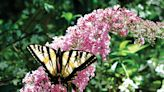 The Mountain Gardener: The dog days of summer are here | Press Banner