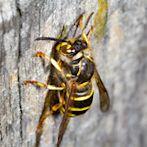 Wasp by Flickr user ddarno