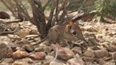 Tiny Elephant Shrew Species Rediscovered in Africa After Disappearing 50 Years Ago