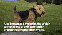 Meet the Welsh Terrier, a Spunky Hunting Companion