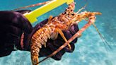 Ready for a lobster dinner? What to know about hitting the water and grabbing your own