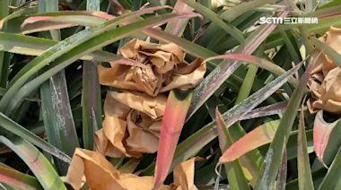 千顆鳳梨被偷光 果農嘆紙箱沒了用處