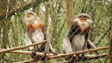 剩不到1000隻!越南5隻白臂葉猴遭槍殺 盜獵者賣作野味、藥材