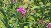 Prairie strips project at Iowa State University brings lasting benefits to farmland