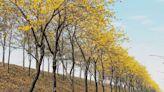 3公里黃花風鈴木綻放!黃金花海廊道如畫美景