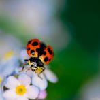 Ladybug by Flickr user Häli J.