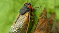 Trillions of cicadas as loud as lawnmowers emerge in 15 U.S. states after 17 years underground