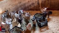 Bleat It: Baby Goats Sing Out in Perfect Harmony on Maine Farm