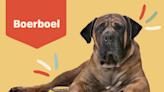 Boerboel (South African Mastiff)