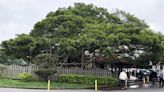 守護綠色古蹟 北水局斥120萬助染疫老榕樹裝「支架」