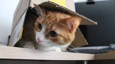 為什麼超愛鑽紙箱?科學家證明貓咪本能會被箱子吸引
