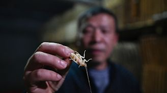 Papa roach: Chinese farmer breeds bugs for the table