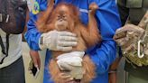 This Is How Critically Endangered Orangutans Are Trafficked, According to a Former Illegal Trader